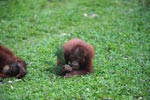 Young Orangutan playing with branch [kalimantan_0557]
