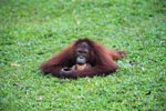 Small Orangutan knawing on a coconut shell