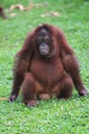 Orangutan Sitting On A Coconut [kalimantan_0563]