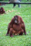 Orangutan Sitting On A Coconut