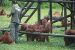 Young Orangutans learning to using tools