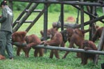 Young Orangutans learning to using tools [kalimantan_0568]