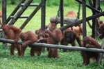 Young Orangutans learning to using tools [kalimantan_0570]