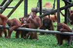 Young Orangutans learning to using tools [kalimantan_0571]