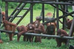 Young Orangutans learning to using tools [kalimantan_0572]