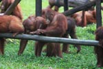 Young Orangutans learning to using tools [kalimantan_0578]