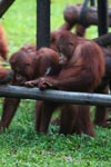 Young Orangutans learning to using tools [kalimantan_0580]