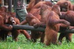 Young Orangutan attempts to sucks honey out of hollowed log