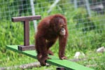 Young Orangutan plays on seesaw