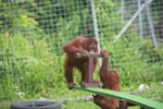 One Orangutan helps another on the seesaw