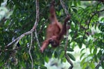 Baby Orangutan plays in tree