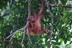 Baby Orangutan plays in tree [sumatra_0022]