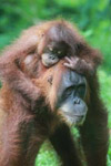 Mama Orangutan Carrying Baby