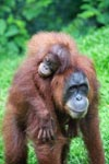 Mama Orangutan Carrying Baby [sumatra_0092]