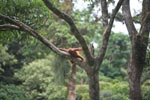 Baby Orangutan in Tree [sumatra_0125]