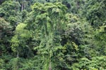 Rainforest vegetation of Gunung Leuser national park
