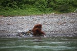 Ex-captive orangutan sitting on a river bank