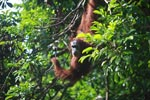 Orangutan in Tree [sumatra_0280]