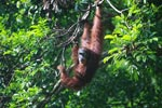 Large Orangutan in a Tree