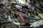 Giant red centipede