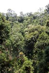 Sumatran rainforest canopy