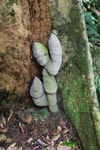 Ant nest at the best of a rainforest tree