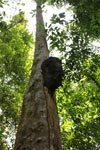Termite nest on a rainforest tree