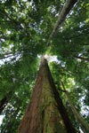 Giant rainforest dipterocarpus