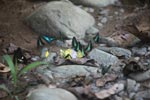 Common bluebottle butterflies (Graphium sarpedon) and other colorful butterflies feeding on minerals