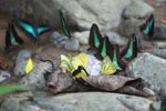 Common bluebottle butterflies (Graphium sarpedon) and other colorful butterflies feeding on minerals [sumatra_0553]