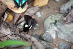 Black & White Helen (Papilio nephelus) feeding on minerals
