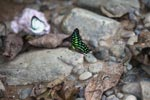 Tailed Jay (Graphium agamemnon agamemnon)