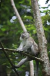 Long-tailed macaque (male) [sumatra_0589]