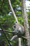 Long-tailed macaque (male) [sumatra_0590]