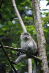 Long-tailed macaque (male)