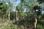 Small-holder rubber plantation