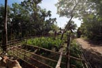 Oil palm seedlings and cattle