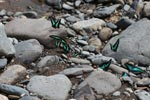 Common bluebottle butterflies (Graphium sarpedon) feeding on minerals [Turquoise and black butterflies]
