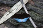 Blue and black butterfly (Tanaecia Iapis cocytina) [male]