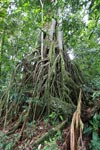 Roots of a strangler fig
