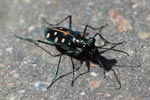 Colorful tiger beetle [sumatra_1289]