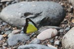 Yellow, black, and white butterfly (Male Appias lyncida hippona)