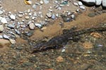 Water monitor in a clear river [sumatra_1395]