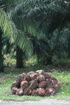 Fresh fruit bunches in an oil palm plantation