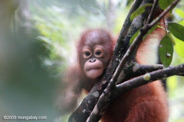 Baby Orangutan in tree in Kalimantan. Photo by Rhett A. Butler / mongabay.com
