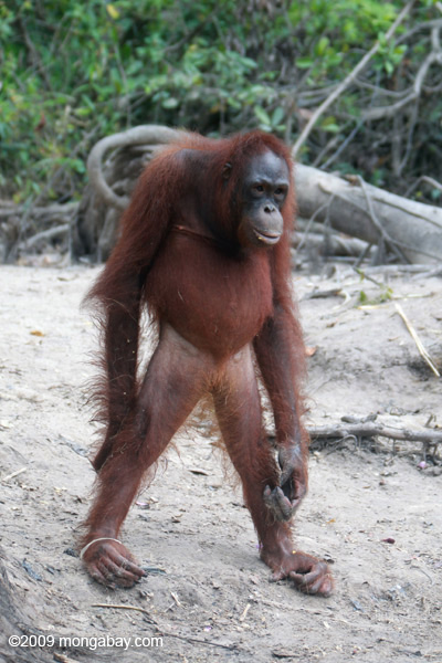 Rescued orangutan on an orangutan island in Indonesian Borneo