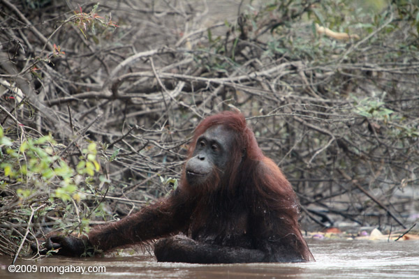 Bornean orangutan wading through the water in Kalimantan. Photo by: Rhett A. Butler.