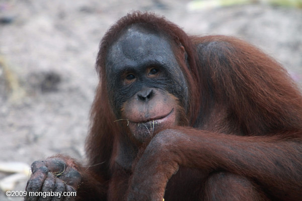 happy orangutan happy orangutan image code kalimantan 0340    Happy Orangutan