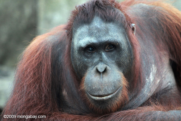 Orangutans are being killed in Kalimantan at a faster rate than is sustainable, due in large part to deforestation for oil palm plantation development. Photo by Rhett A. Butler.