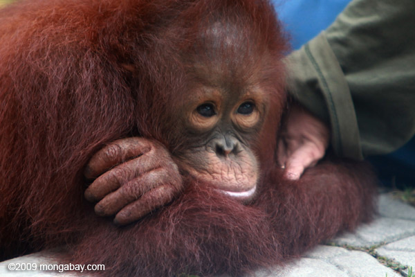 Orphaned Bornean orangutan in the Indonesian state of Kalimantan on the island of Borneo. Photo by: Rhett A. Butler.